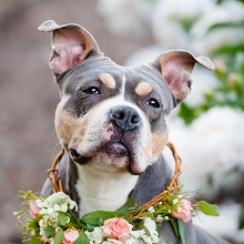 Bailey-Adopt From Biggies Bullies in Pittsburgh, PA