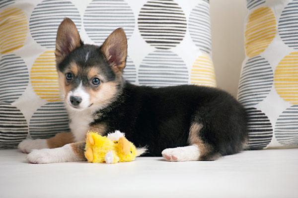 Corgi-Australian-Shepard-Mix-Puppy-
