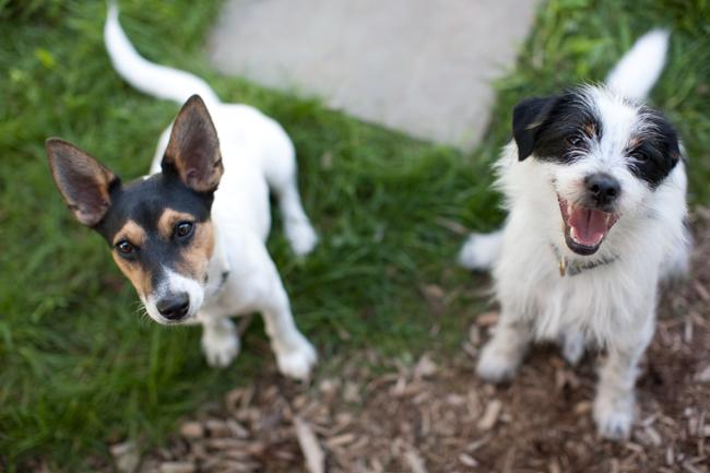 Hughie Enzo Jack Russell, Parsons Terrier