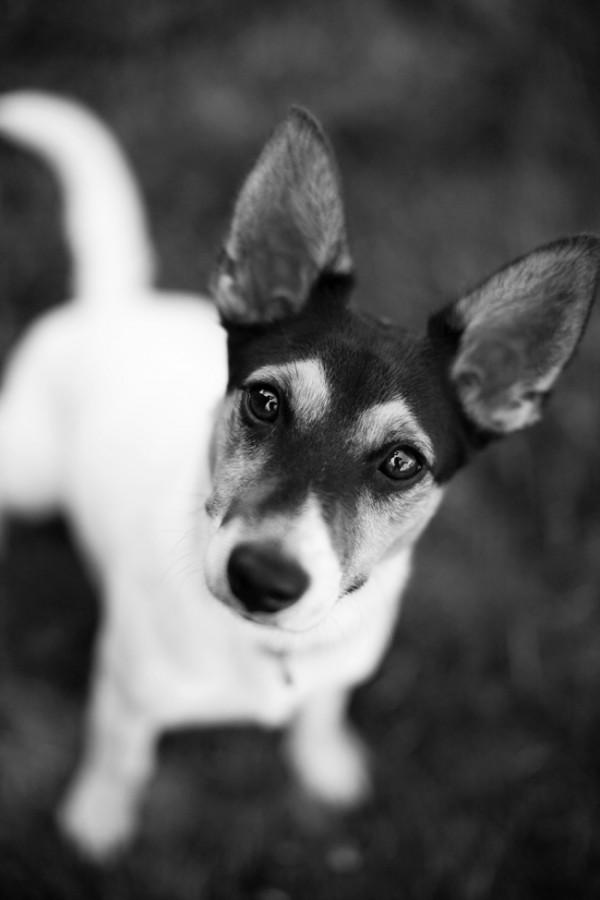Hughie, Jack Russell Terrier
