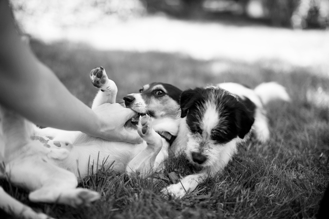 Enzo Hughie, dogs playing in grass, Jack Russell