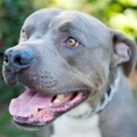 adoptable Pit bull from Karma Rescue