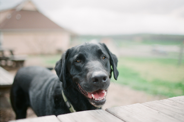 black lab, Orvis, happy dog