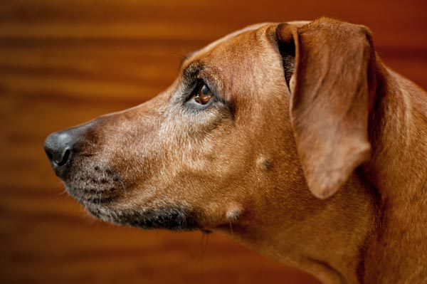 NYC-Dog-Engagement-Portraits, Rhodesian Ridgeback