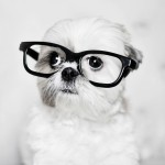 Shitzu dog wearing glasses