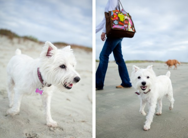 © Nuance Pet Photos | Daily Dog Tag | Westie-walking-on-beach