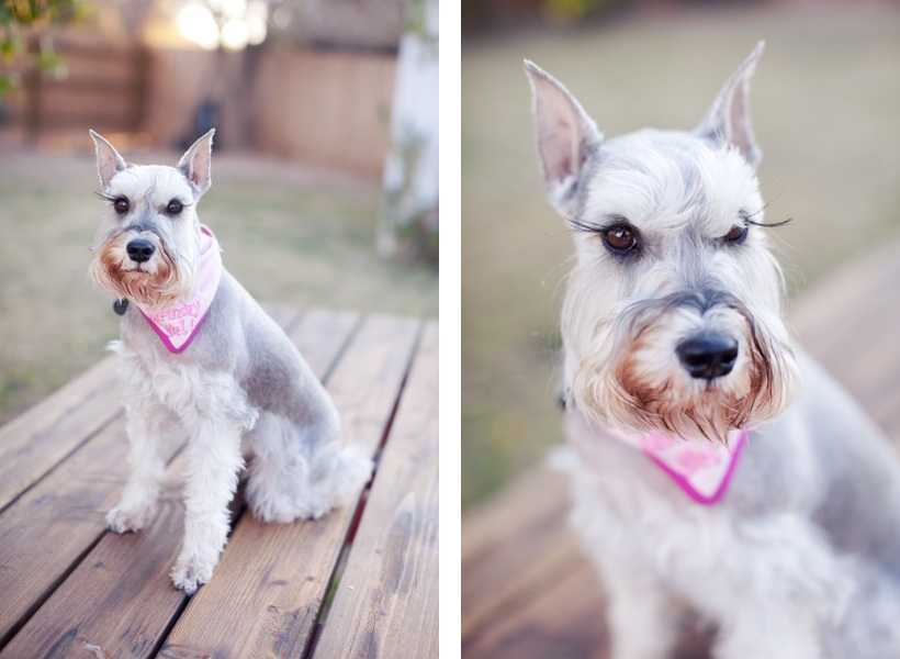 Dog Pawty:  Dixie the Miniature Schnauzer