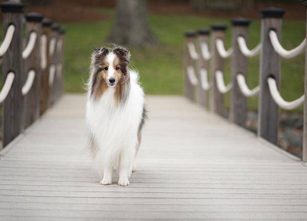 ©McGraw Photography | Daily Dog Tag |sable merle Sheltie
