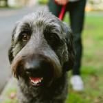 Labradoodle, Charlie dog