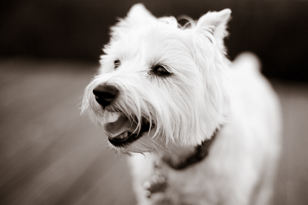© Nuance Pet Photos | Daily Dog Tag | Westie, dog-photography