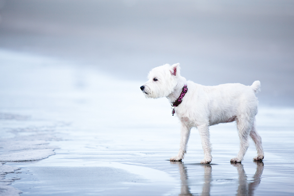 © Nuance Pet Photos | Daily Dog Tag | Westie on the water's edge