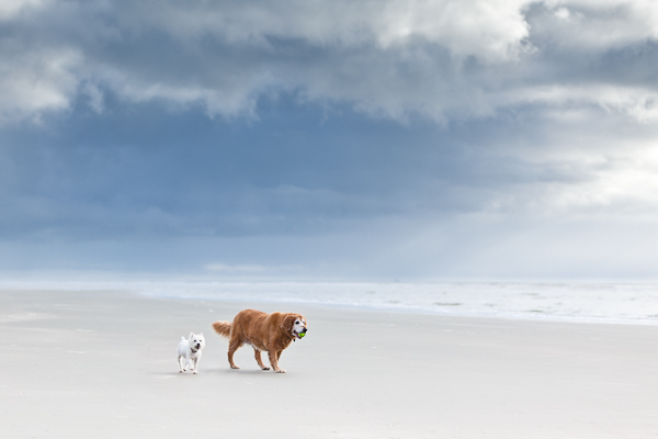 © Nuance Pet Photos | Daily Dog Tag | Golden Retriever and Westie-walking-on-beach, dog BFF's