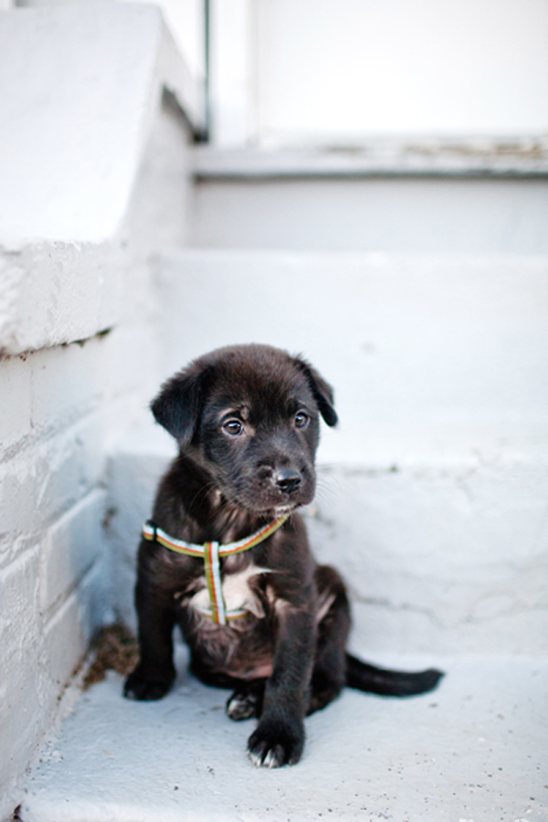 black lab mix puppy, rescue pup