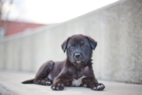 black lab puppy, rescue