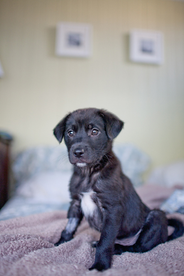 black lab puppy, Charleson Pet Photographer