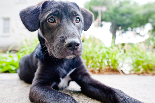 black lab puppy, rescue dog