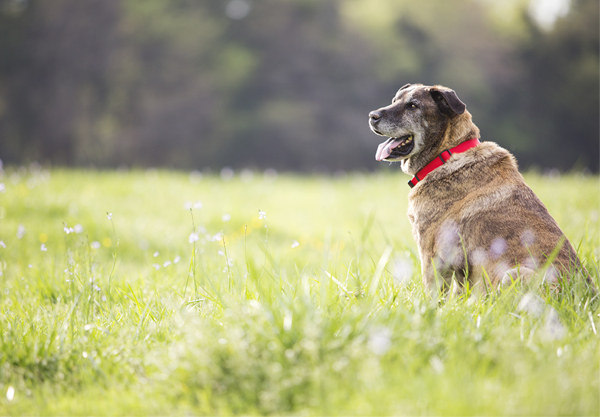 © McGraw Photography | rescue cattle dog,  dog-in-field, on-location-pet-photography