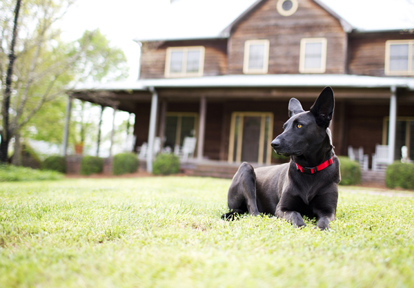 black shepherd mix in front of house