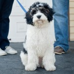 Labradoodle-Syracuse-Pet-Photographer-0008
