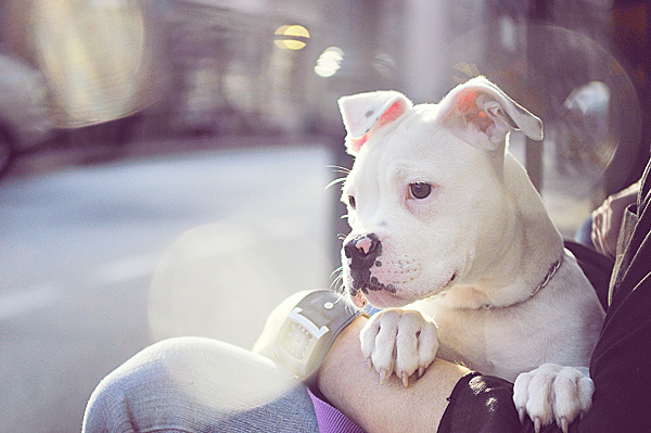 pit bull puppy, ZADESIGNZ
