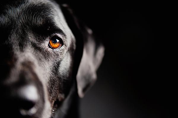black labrador retriever, professional pet photography
