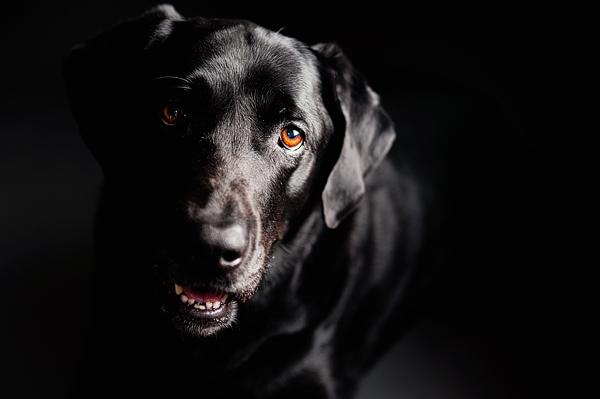 black lab rescue, Buddy