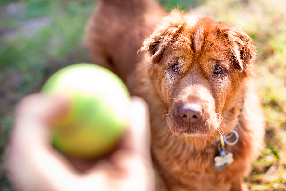 Olive, Shar Pei mix and tennis ball