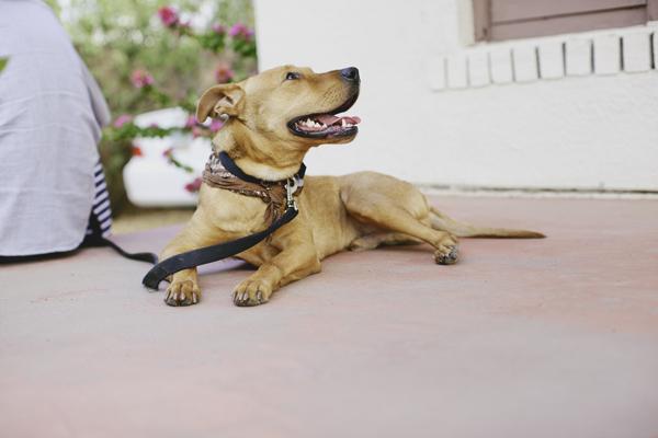 lab/pitbull mix, three legged dog, tripawed