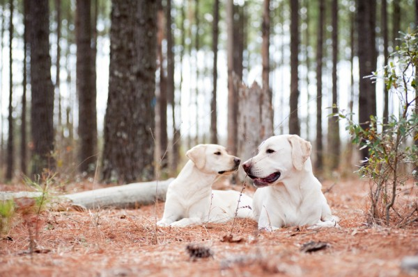 © Britt Croft Photography | Daily Dog Tag |Yellow-Labrador-Retrievers, Dynamic-dog-duos