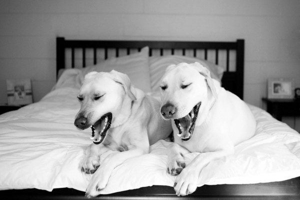 © Britt Croft Photography | Daily Dog Tag | yellow labs on bed yawning