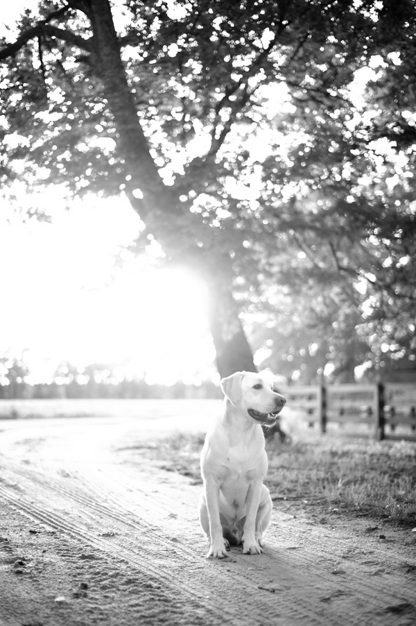 © Britt Croft Photography | Daily Dog Tag |Yellow lab on country road