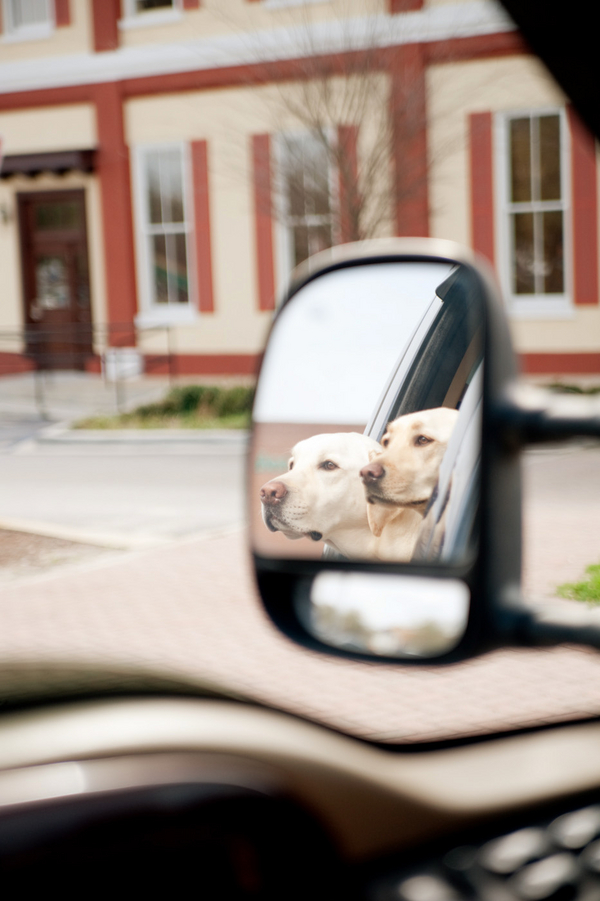 © Britt Croft Photography | Daily Dog Tag |Yellow labs going for a car ride