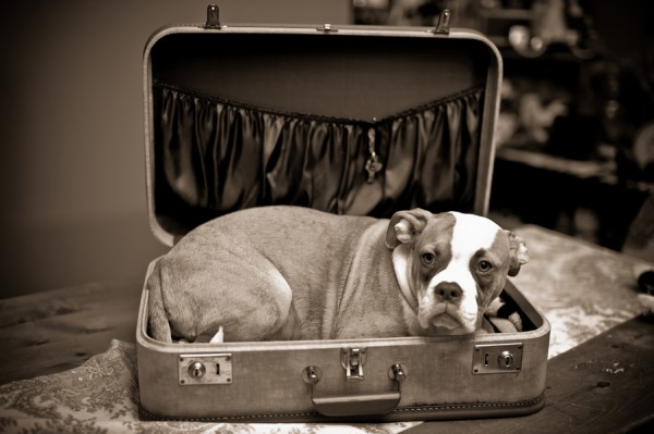 © BG Productions | Daily Dog Tag | Boxer/bulldog mix in suitcase