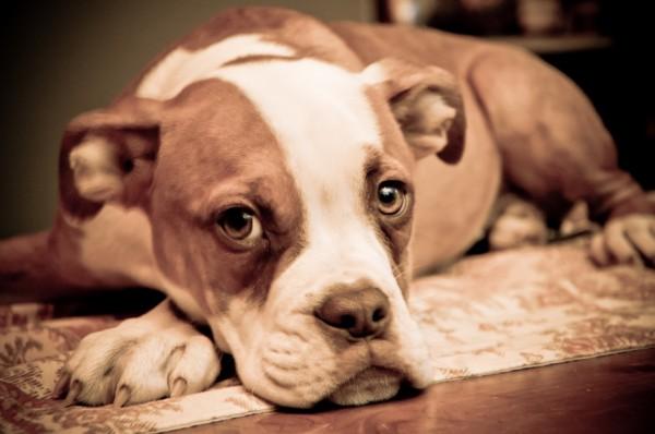 © BG Productions | Daily Dog Tag |Bella, adorable boxer/bulldog