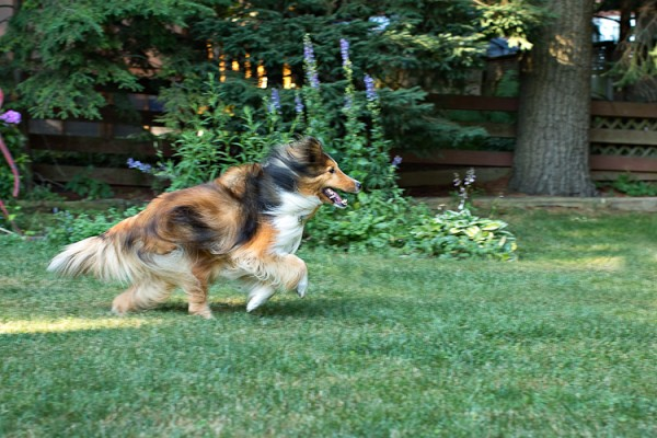 Sheltie-running