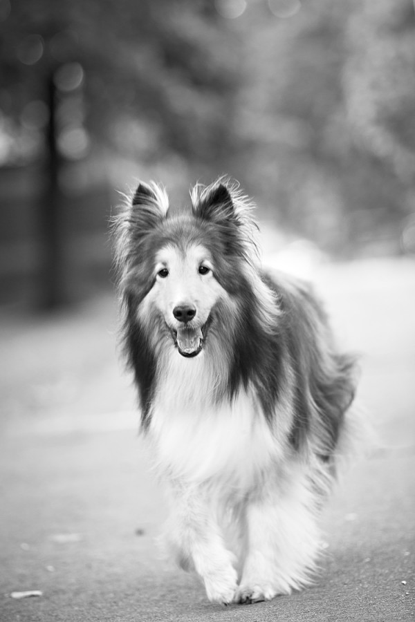 © Posh Pets Photography | Daily Dog Tag |Toronto-pet-photography, handsome Sheltie