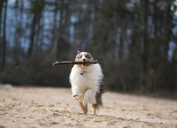 © McGraw Photography | Daily Dog Tag |Sheltie-Branch-Manager