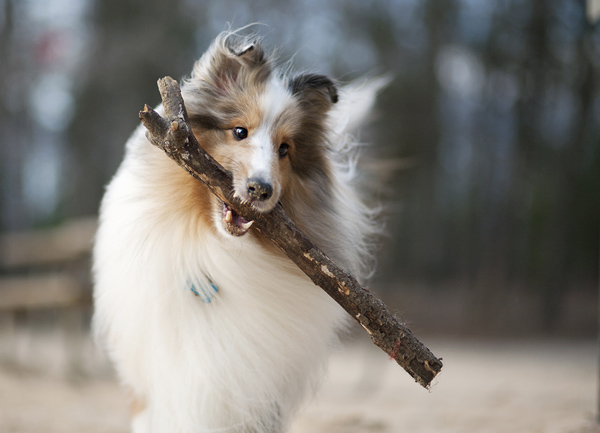 © McGraw Photography | Daily Dog Tag|Sheltie carrying large stick