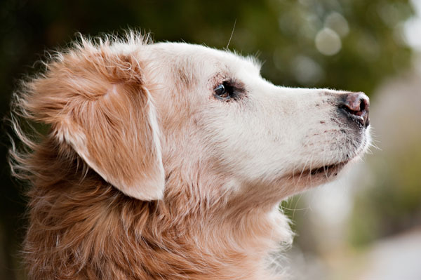 © Alice G Patterson | Daily Dog Tag |Gatsby the Golden Retriever, Syracuse-Dog-Photography
