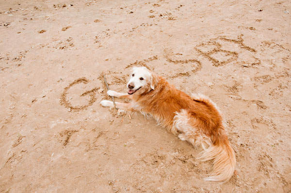 © Alice G Patterson| Daily Dog Tag |The Great Gatsby, Golden-Retriever-at-beach