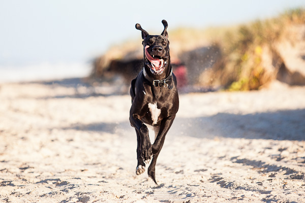 © Charlotte Reeves Photography| Daily Dog Tag |Great Dane on the beach