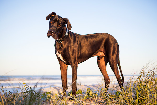 © Charlotte Reeves Photography| Daily Dog Tag | gorgeous-dog-photography, Black Great-Dane-on-beach