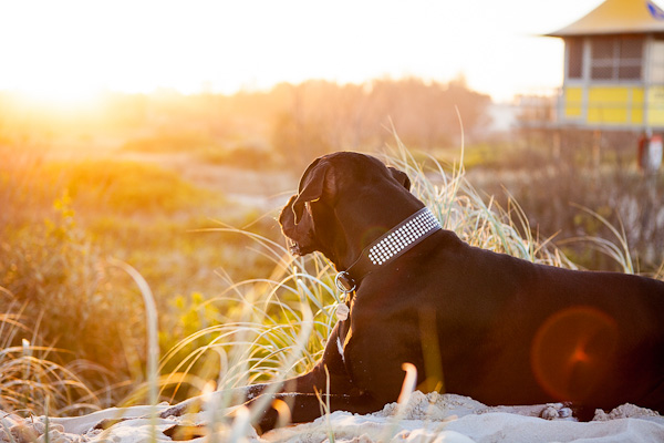 © Charlotte Reeves Photography| Daily Dog Tag |On-location-pet-photography, golden-light