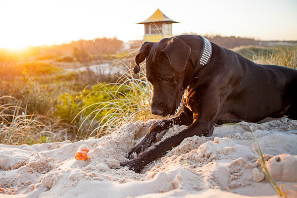 © Charlotte Reeves Photography| Daily Dog Tag |digging for toys on the beach