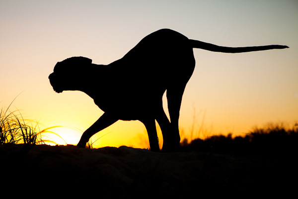 © Charlotte Reeves Photography| Daily Dog Tag |Great Dane sihouette
