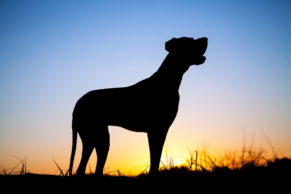 © Charlotte Reeves Photography| Daily Dog Tag |Charge at sunset