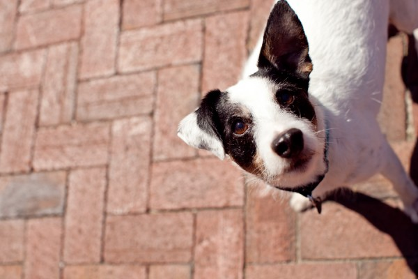 © Andi Grant Photography | Daily Dog Tag | Otis, Jack Russell mix