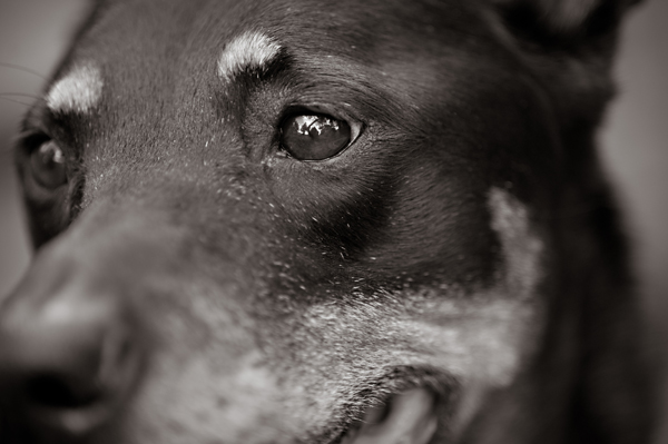 © Alice G Patterson Photography | Daily Dog Tag |Rottie-Shepherd mix