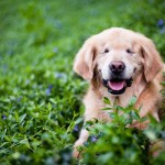 smiling Golden Retriever Therapy Dog