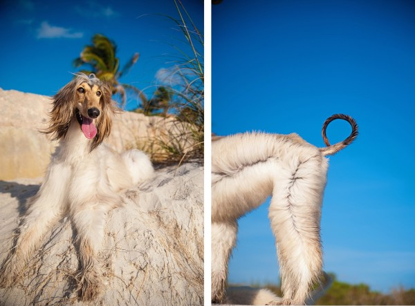 © Emilee Fuss Photography | Daily Dog Tag | Afghan-at-beach, gorgeous-on-location-dog-photography